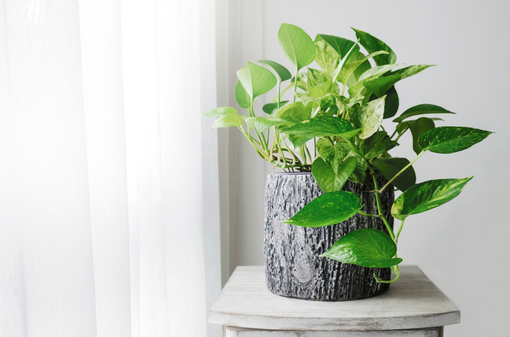Epipremnum aureum badpflanze