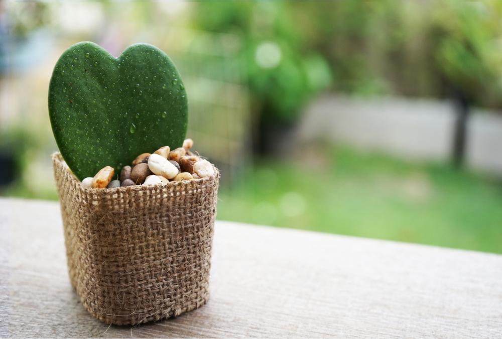 Hoya kerrii badezimmerpflanze