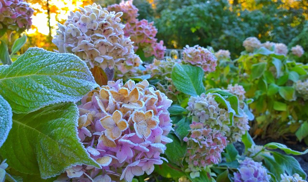 gefrorene Hydrangea